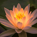 Water Lily by Judy Witter