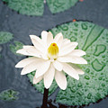 Water Lily by Kathy McClure