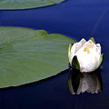 Water Lily by Kristin Elmquist