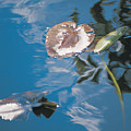 Water Lily Leaves And Reflection Of Clouds In Unknown Lake by Australian School