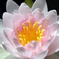 Water Lily by Mary Lane
