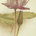 Water Lily  Nymphaea Zanzibarensis by English School