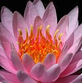 Water Lily On Fire by Sabrina L Ryan