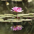 Water Lily by Phil Crean