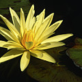 Water Lily by Sandra Bronstein