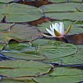 Water Lily Scene by Bill Chambers