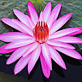 Water Lily-st Lucia by Chester Williams