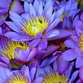 Water Lily by Suranga Basnagala