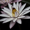 Water Lily  by Tom Gari Gallery-Three-Photography