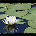 Water Lily With Black Border by Carol Groenen