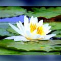 Water Lily With Blue Border - Digital Painting by Carol Groenen