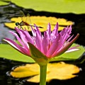 Water Lily With Dragonfly by Joe Wyman
