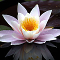 Water Lily With Reflection  by Neil Doren