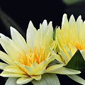 Water Lily Yellow Nymphaea by Terri Winkler