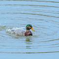 Water Off A Ducks Back by Allan Levin