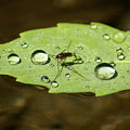 Water Strider Has A Drink At The Floating Leaf Cafe by Ben Upham III