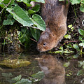 Water Vole by Bob Kemp