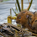Water Vole Cleaning by Bob Kemp