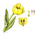 Watercolor Flower Yellow Tulip by Karla Beatty