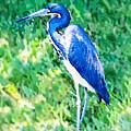 Watercolor Heron In Grass by Susan Molnar