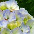 Watercolor Hydrangea by Mg Blackstock