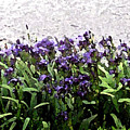 Watercolor Iris  by Barbara Griffin
