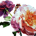Watercolor Of Two Roses In Pink And Violet On One Stem That  I Dedicate To Jacques Brel by Greta Corens