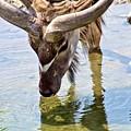 Watering Kudu by Patti Smith