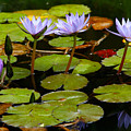 Waterlilies by Gaspar Avila