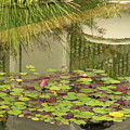 Waterlilies by Sandra Bourret