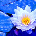 Blue Water Lily by Ian  MacDonald