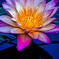 Waterlilly by Chris Lord