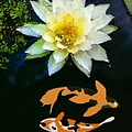 Waterlily And Koi Pond by Priscilla Wolfe