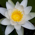 Waterlily  by Chrissy Gibbs