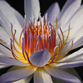 Waterlily by Helen Weston