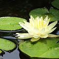 Waterlily In Yellow by Tonya Laker