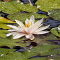 Waterlily On The Water by Michal Boubin