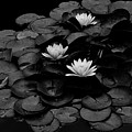 Waterlily by Wilma  Birdwell