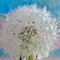 Watery Dandelion by Barbara St Jean