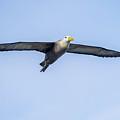 Waved Albatross Flying In Galapagos by Marek Poplawski