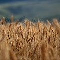 Waves Of Grain by Michael Morse