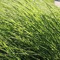 Waving Grass by Lauri Novak