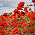 Waving Red Poppies by Jean Noren