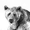 Wb Portrait Of A Bear by Irina Safonova