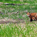 We Are 3 Red Fox Puppies by Asbed Iskedjian