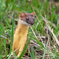 Weasel by Brad Christensen