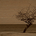 Weatherd Beach Tree by Perry Webster