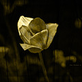 Weathered Golden Tulip by John Stephens