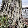 Weathered Stump II by Roxy Hurtubise