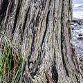Weathered Stump IIi by Roxy Hurtubise